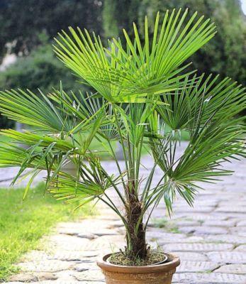 winterharte k bel palmen 2 pflanzen hanfpalme trachycarpus fortunei badezimmer g rtchen. Black Bedroom Furniture Sets. Home Design Ideas