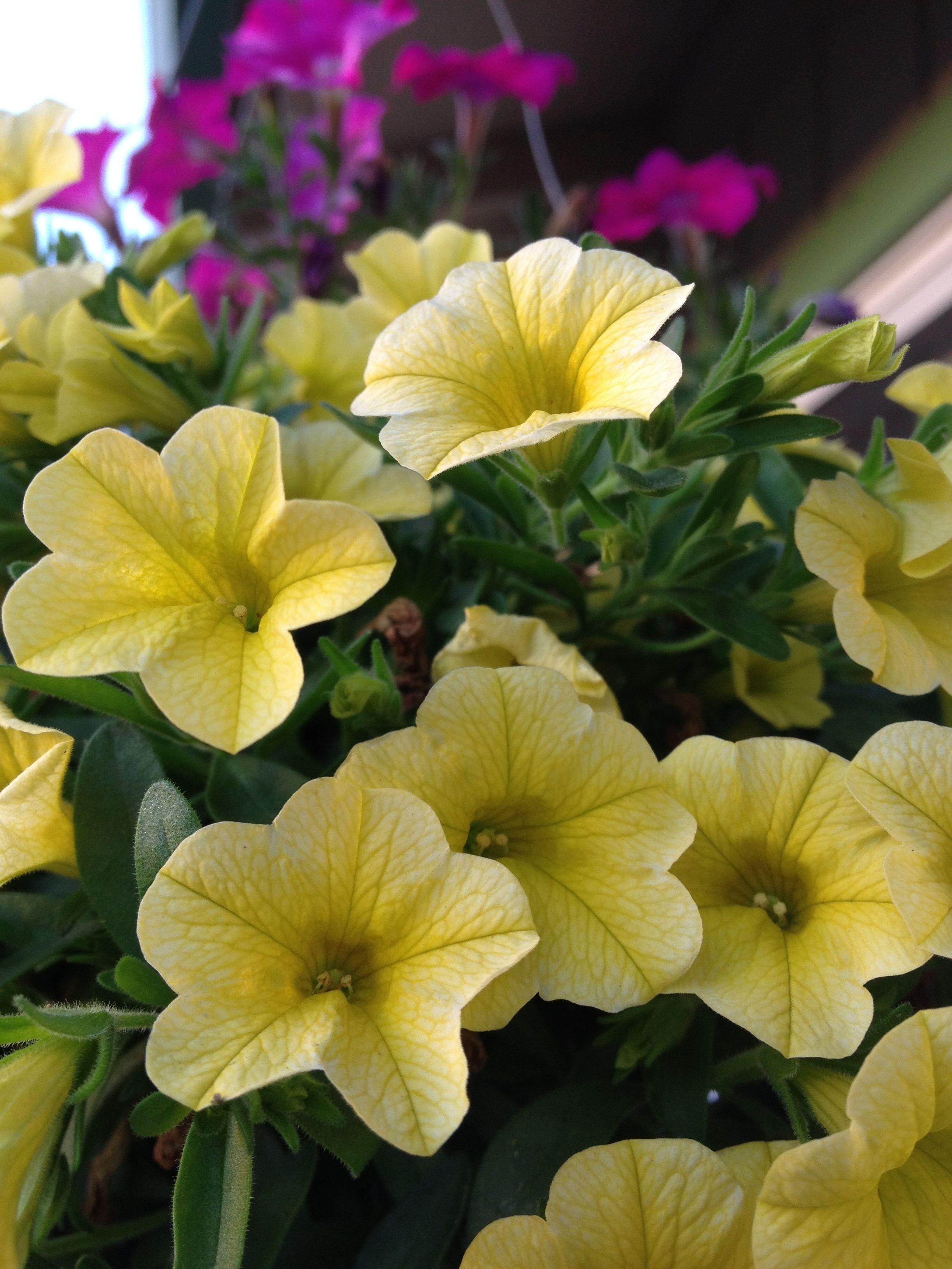 Baby Petunias Petunia Flower Petunia Plant Annual Flowers