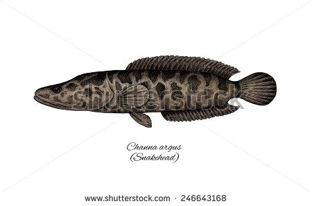 Snakehead Fish Stock Photos Images Pictures Snakehead Fish Fish Stock Fish Vector