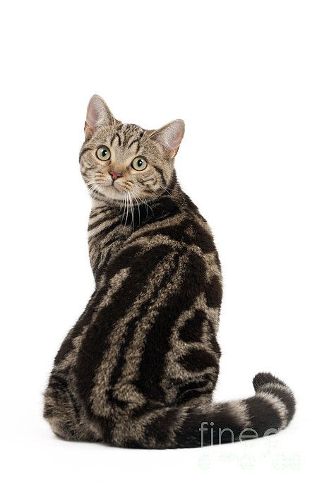 British Shorthair Cat By Jean Michel Labat Tabby Cat British