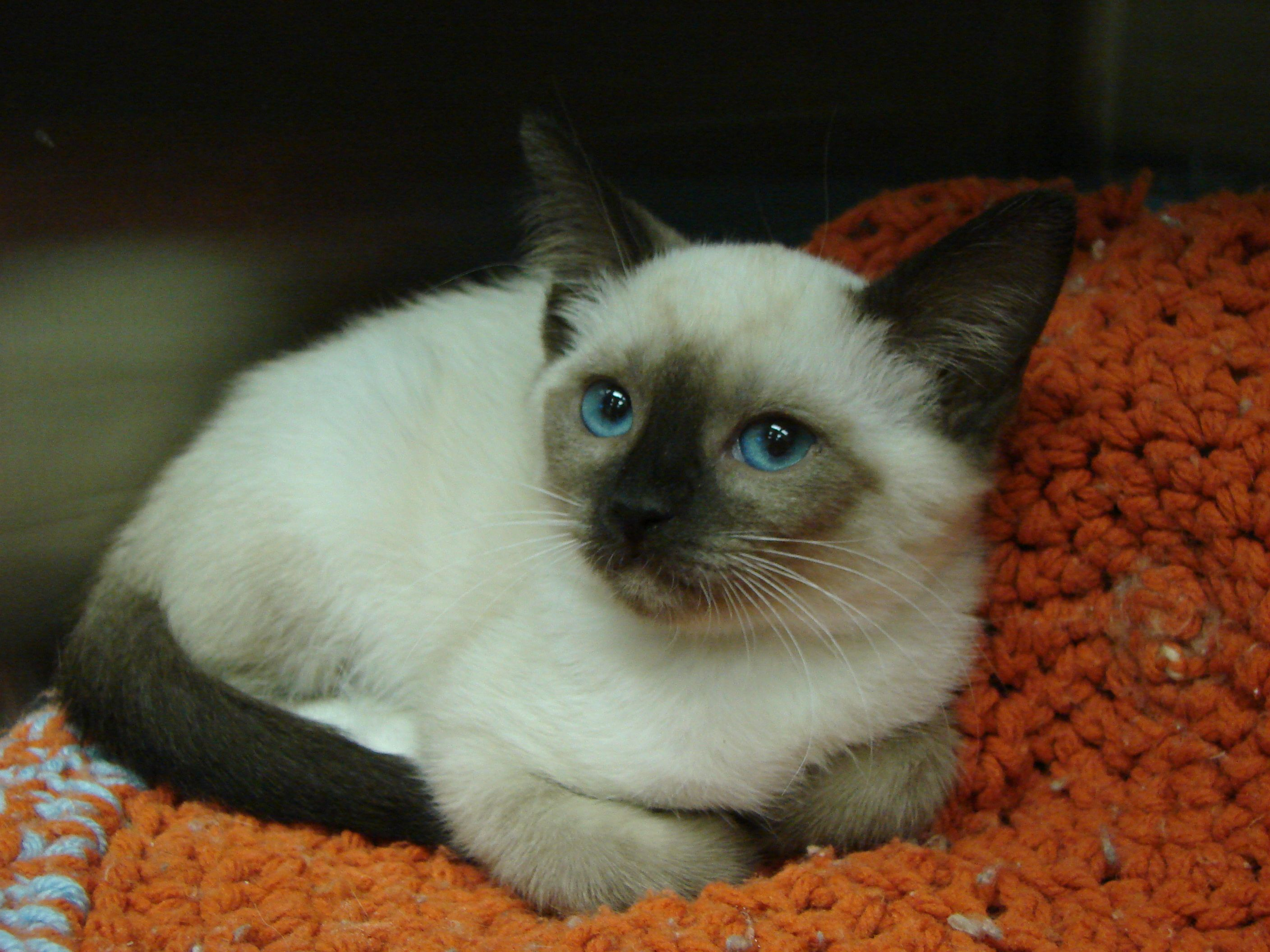 Hannah At 6 Weeks Old Is A Snowshoe Siamese Munchkin Cat Pet