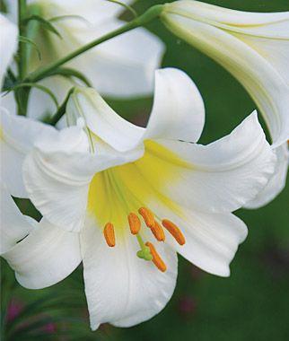 Trumpet Regale Lily