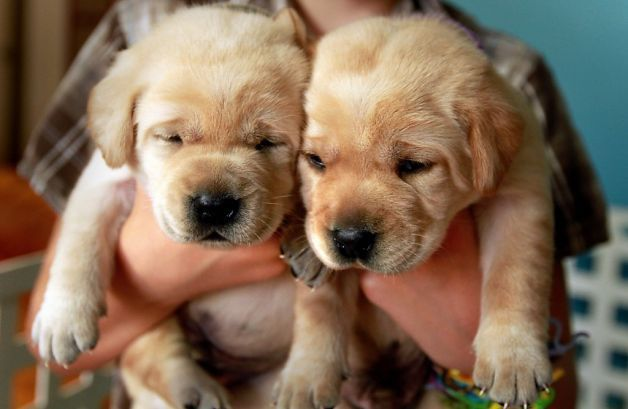Pin By Kelly Bradberry On I Love Puppies Lab Puppies Labrador