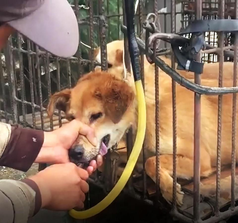 A Vile Dog Meat Dealer Has Been Caught On Camera Pumping Water