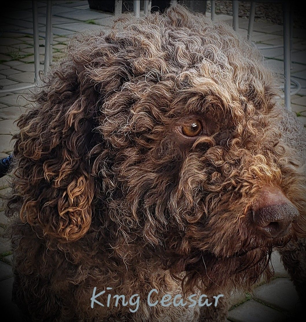 Pin by virginia brietzke on dogs water dog dog breeder