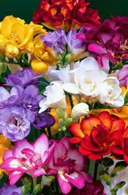 Freesia Mix Double Flowered Freesia Flowers Summer Flowering Bulbs Fresia Flower