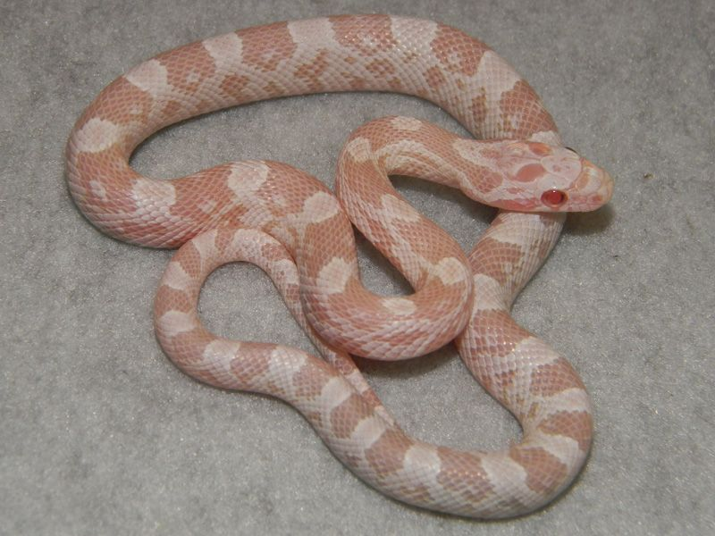Snow morph   Those eyes! | Reptile Species | Corn snakes for sale