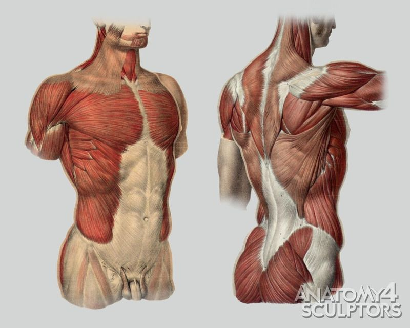 anatomy for sculptors - proportion calculator, store, services, Muscles