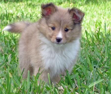 Australian Shepherd Shetland Sheepdog Mix My Parents Suspect I