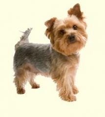 Silky Terrier Puppies For Sale Yorkshire Terrier Puppies Silky