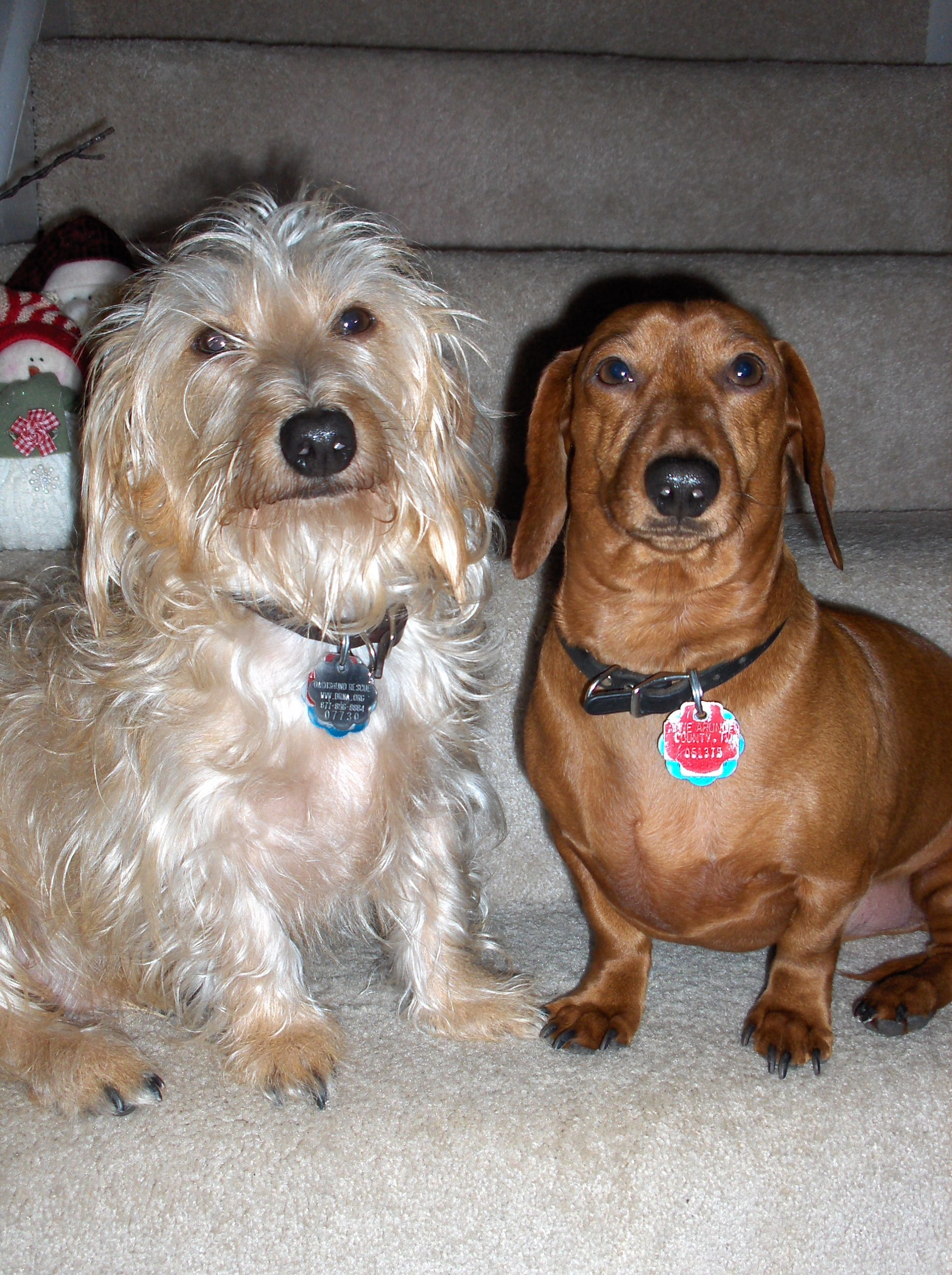 My Dogs Dylan Sammy Both Are Were Adopted From The Drna Dog Adoption Dogs Pets