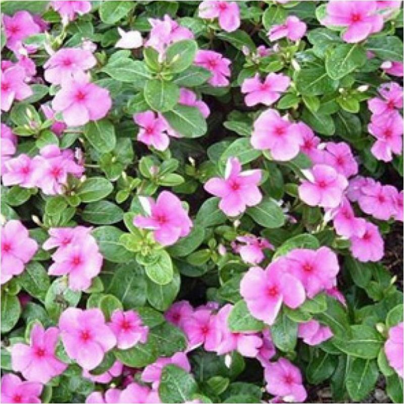 Stock Dwarf Buy Flower Seeds Online India Order Flower Seeds Online Flower Seeds Online Flower Seeds Seeds Online