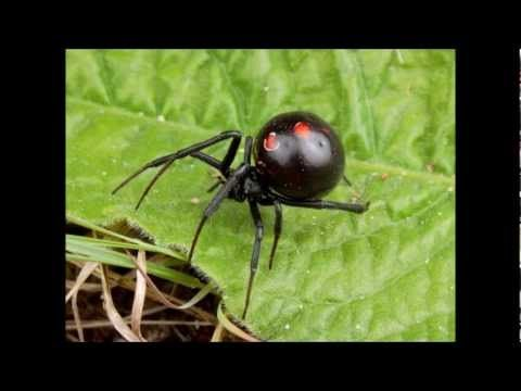 Top 10 Deadliest Spiders On Earth Insect Insects Bug Bugs