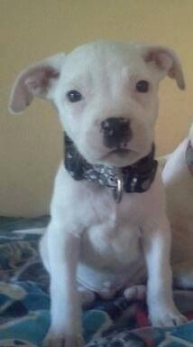 Lostdog 11 14 13 Wichita Ks Pitbull Puppy 8 Weeks Old White