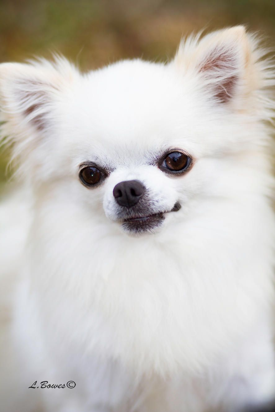 Small Hobby Breeder Of Akc Chihuahuas Bred For Good Health