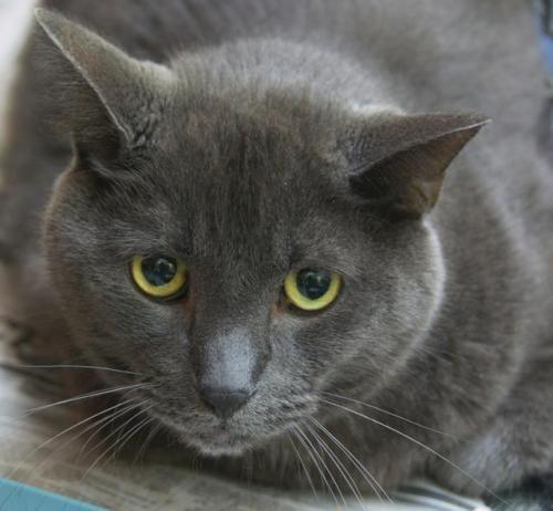 Adopt Blue Barry Russian Blue On Felino Gris