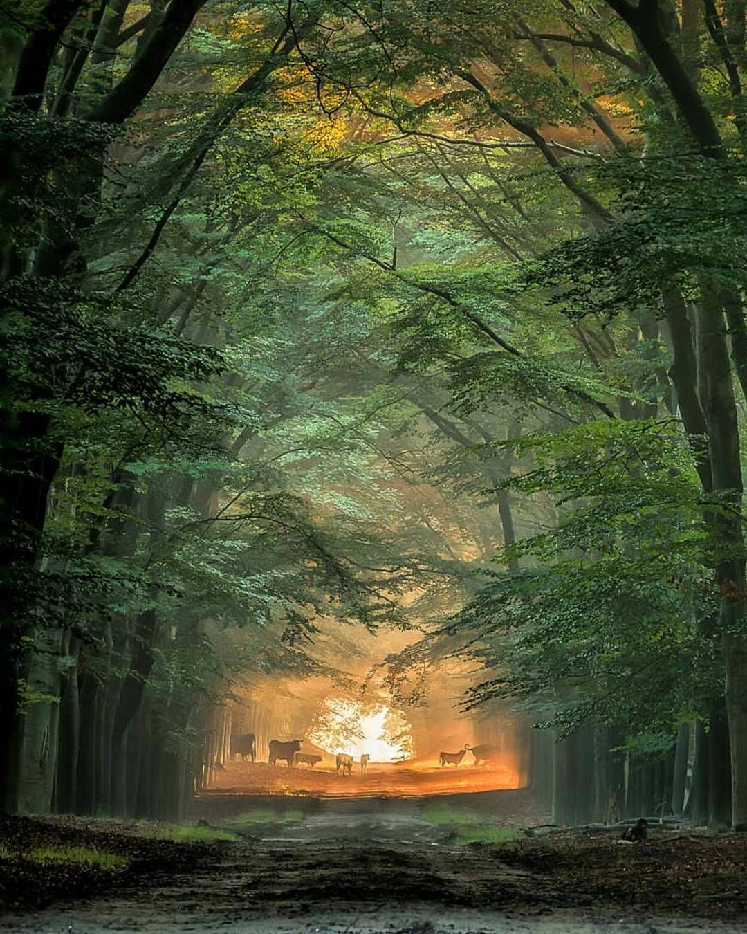 .  Sunny ahead.   Photography by © (Hans Soowij). A beautifull morning near Arnhem when i was watching the wild cows to cross the road. #wilderness #wildlife #forest #road lane #path #way #nature #arnhem #gelderland