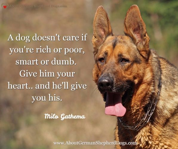 Pin by About German Shepherd Dogs on About German