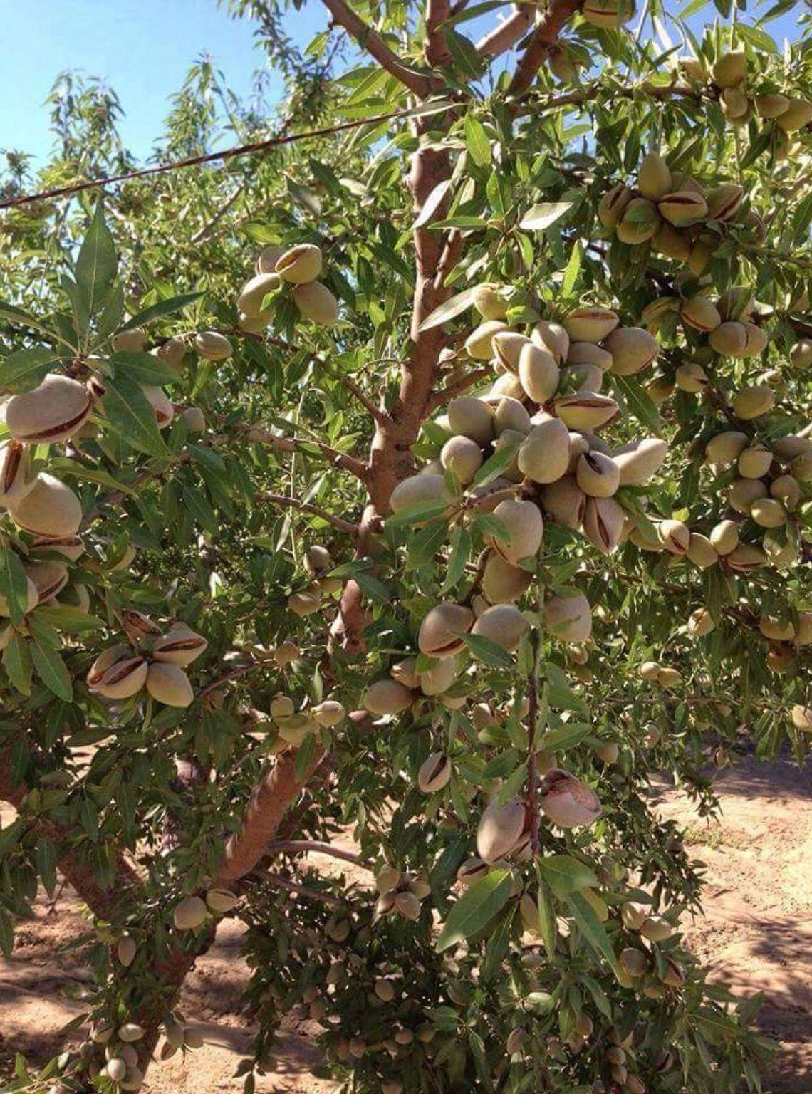 Almendras Frutas Exóticas Frutas Arboles Frutales