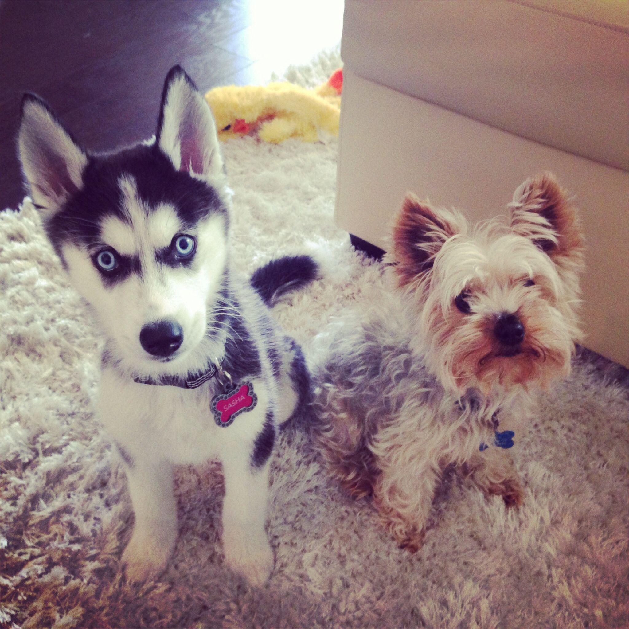 Husky Puppy And Yorkie Cute Little Animals Husky Puppy Yorkie