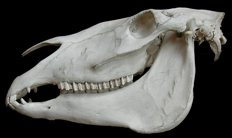 Horse skull. Photo credit: Vassil (PD) InIreland,England,Wales, and theScandinavian Peninsula, the skulls of horses have been found conc...