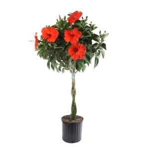 Costa Farms Braided Hibiscus Live Tropical Plant In 2 Gal