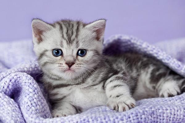 Zauberhafte Bkh Tabby Kitten In Gold Und Silber Mit Bildern