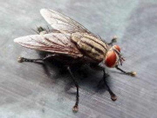 Houseflies Don T Allow Their Short Lifespans 14 Days To Hinder