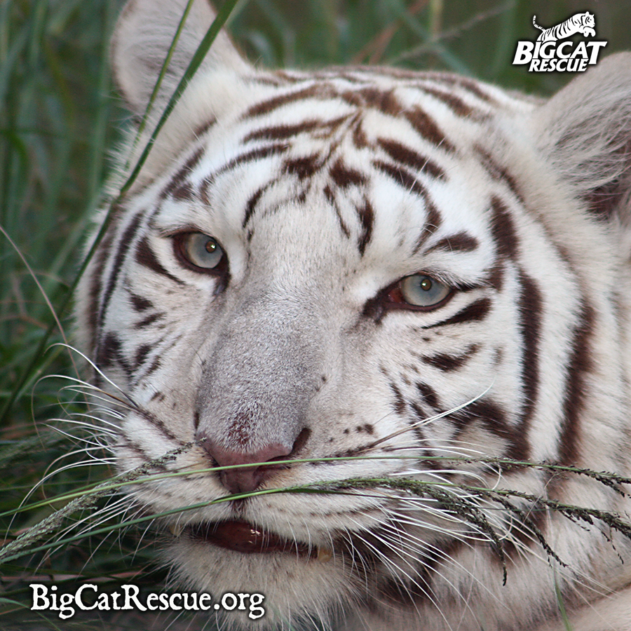 Why Regulating Conditions Under Which Big Cats Are Kept Simply Does Not and Can Not WorkLearn More: http://bigcatrescue.org/abuse-issues/issues/why-regulations-dont-work/