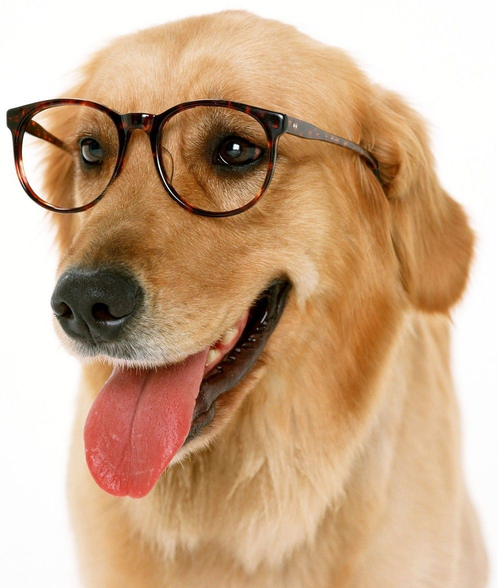 Pink Wallpaper With Cute Puppy Golden Retriever Humane Society Of North Iowa 187 Dog Wearing Glasses 1600