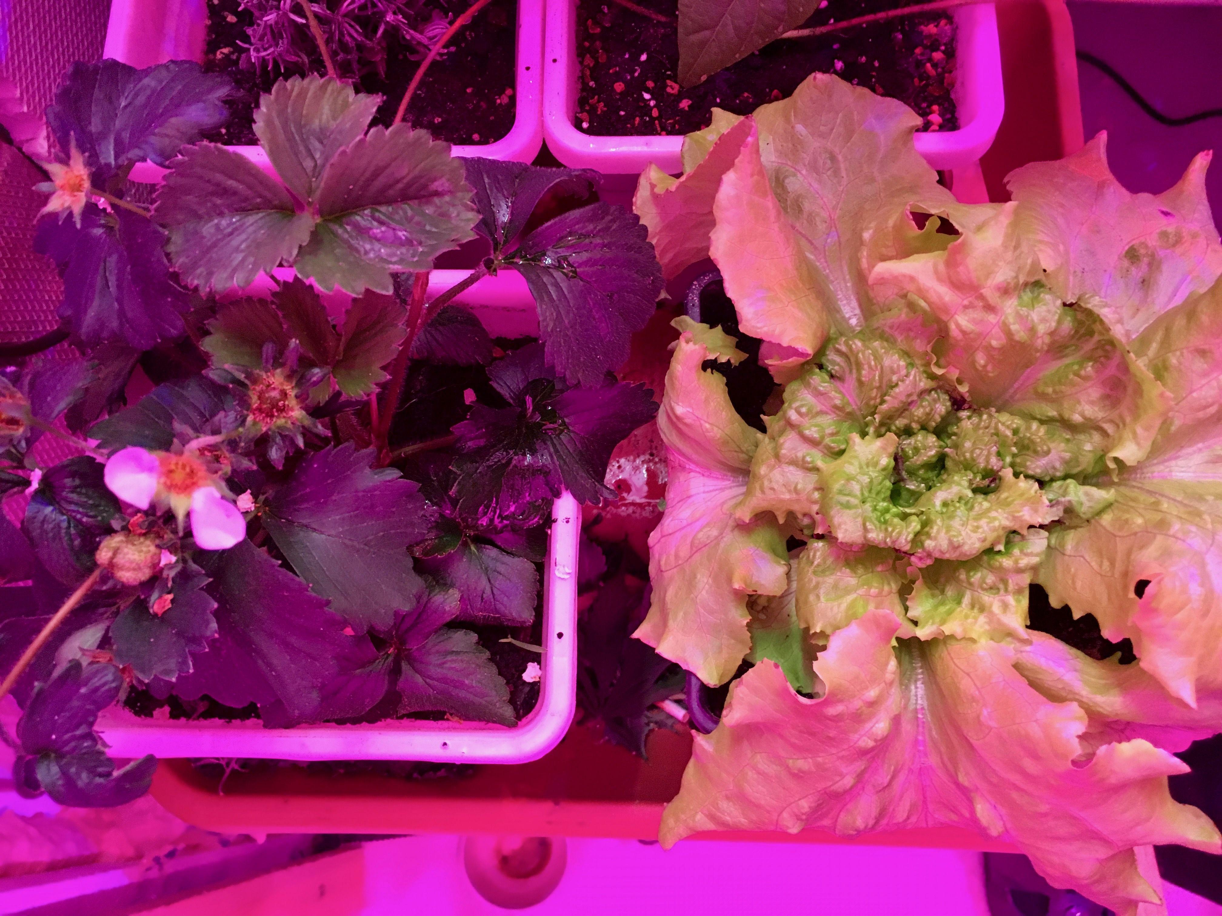 Strawberrys Fruits Erdbeeren Salad Salat Led Pflanzen Lampe Licht Beleuchtung Gartenbau Gemusebau Gartner Pflanzenlampe Pflanzen Led Pflanzenlampe