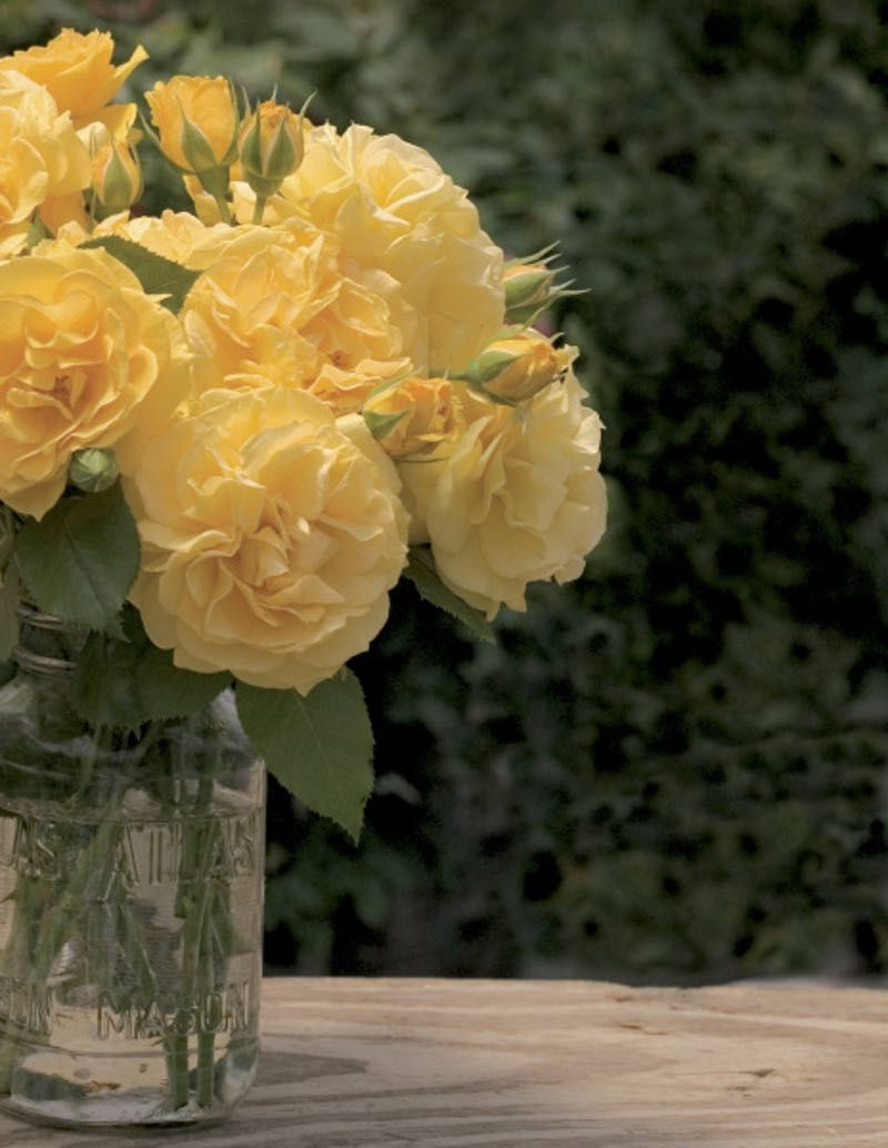 Julia Child Is Regarded By Many As The Best Yellow For North Texas Best Roses Rose Flower Arrangements
