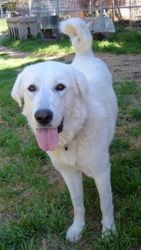 Calif Duka Is An Adoptable Anatolian Shepherd Dog In Brentwood Ca