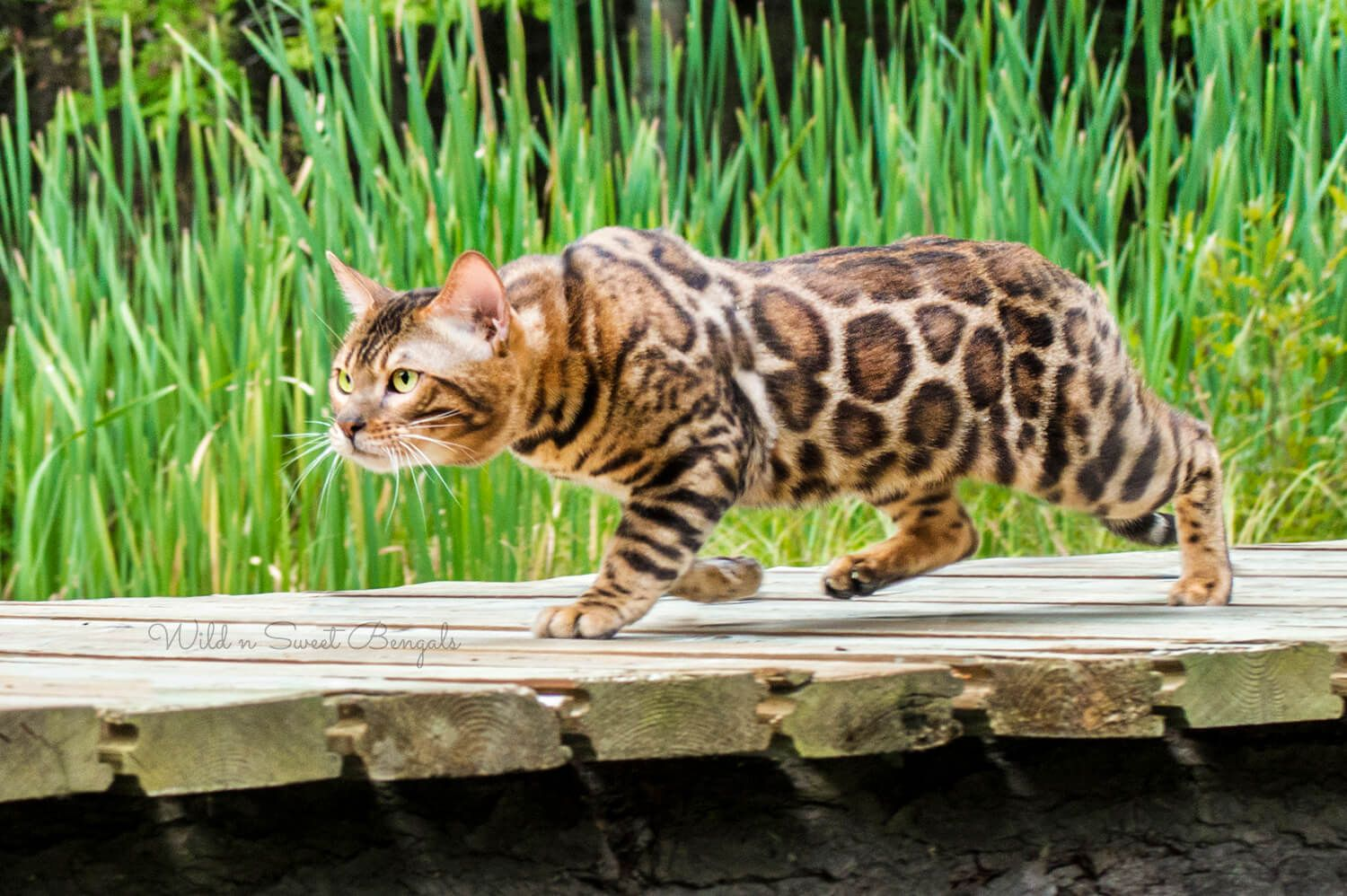Bengal Kittens & Cats for Sale Near Me Bengal cat for