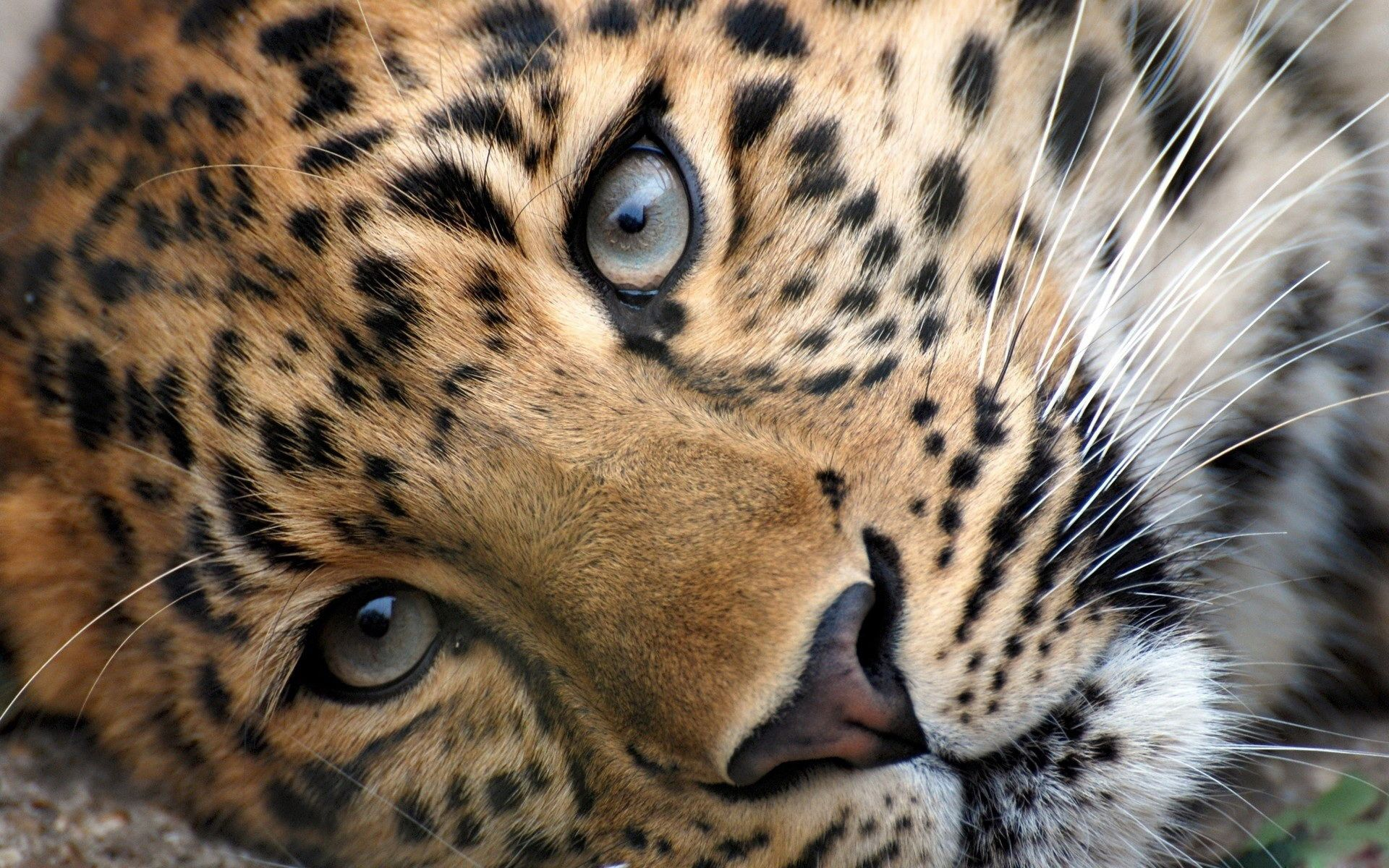 Big Cats Wild Animal Wallpaper Leopard Wallpaper Cheetah Wallpaper