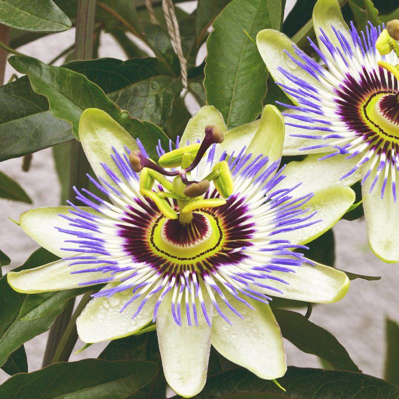 The Power Of Passion Flower Flowering Vines Passion Flower Passion Flower Benefits