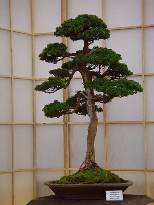 Juniper Bonsai Informal Upright Style Moyogi Bonsai Tree Bonsai Art Bonsai Garden