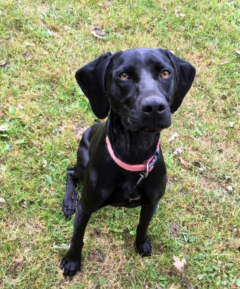 Adopt Elly on (With images) German shorthaired pointer