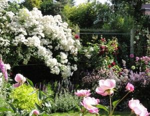 clay loving plants all roses caroline benedict smith garden design cheshire