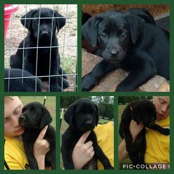 Labrador Retriever Puppy For Sale In Lake City Fl Adn 31379 On Puppyfinder Com Gender Male A Labrador Retriever Puppies Puppies For Sale Labrador Retriever
