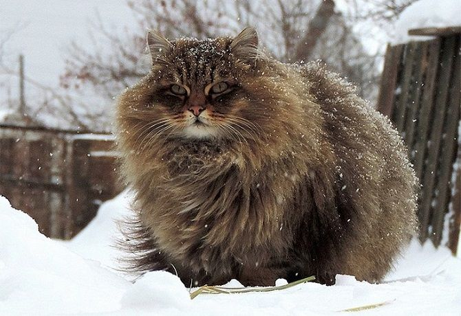 Can you handle the cuteness of Siberian Cats? | Slavorum