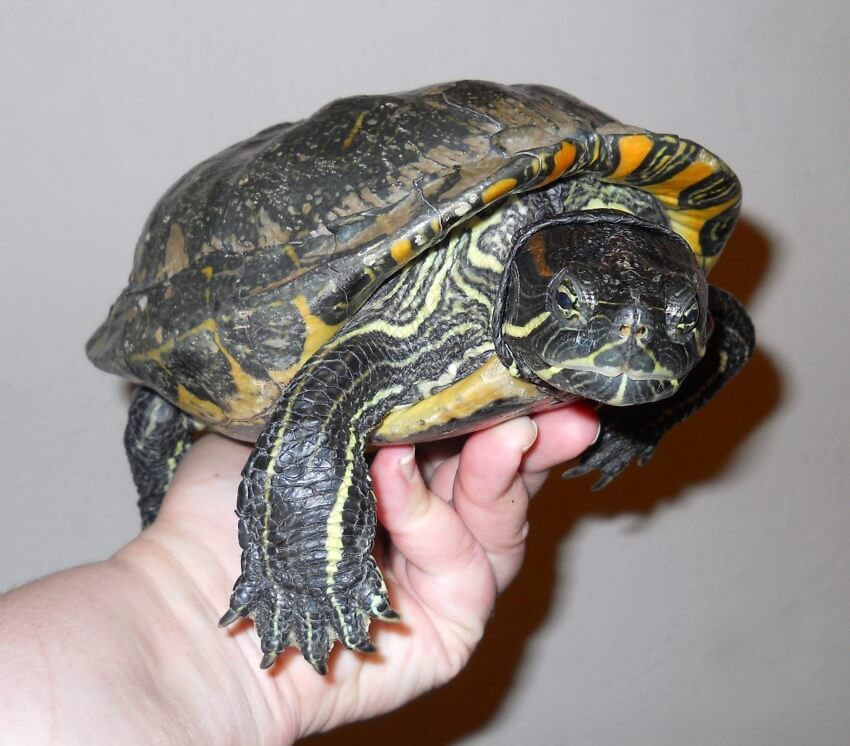 47 year-old female Trachemys scripta elegans (Red-Eared Slider)