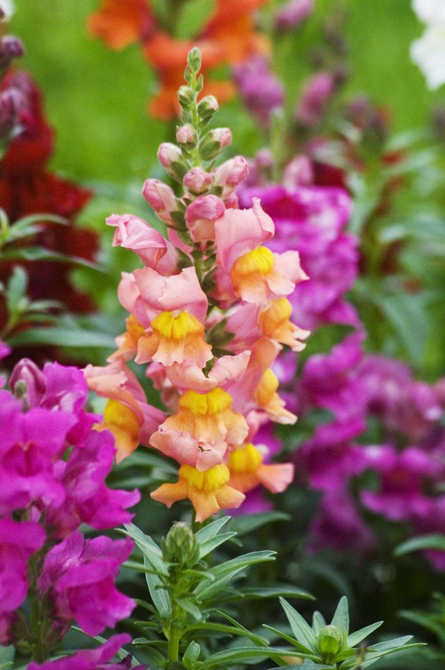 Old-fashioned but never out of style, snapdragons lift the spirits in early spring.