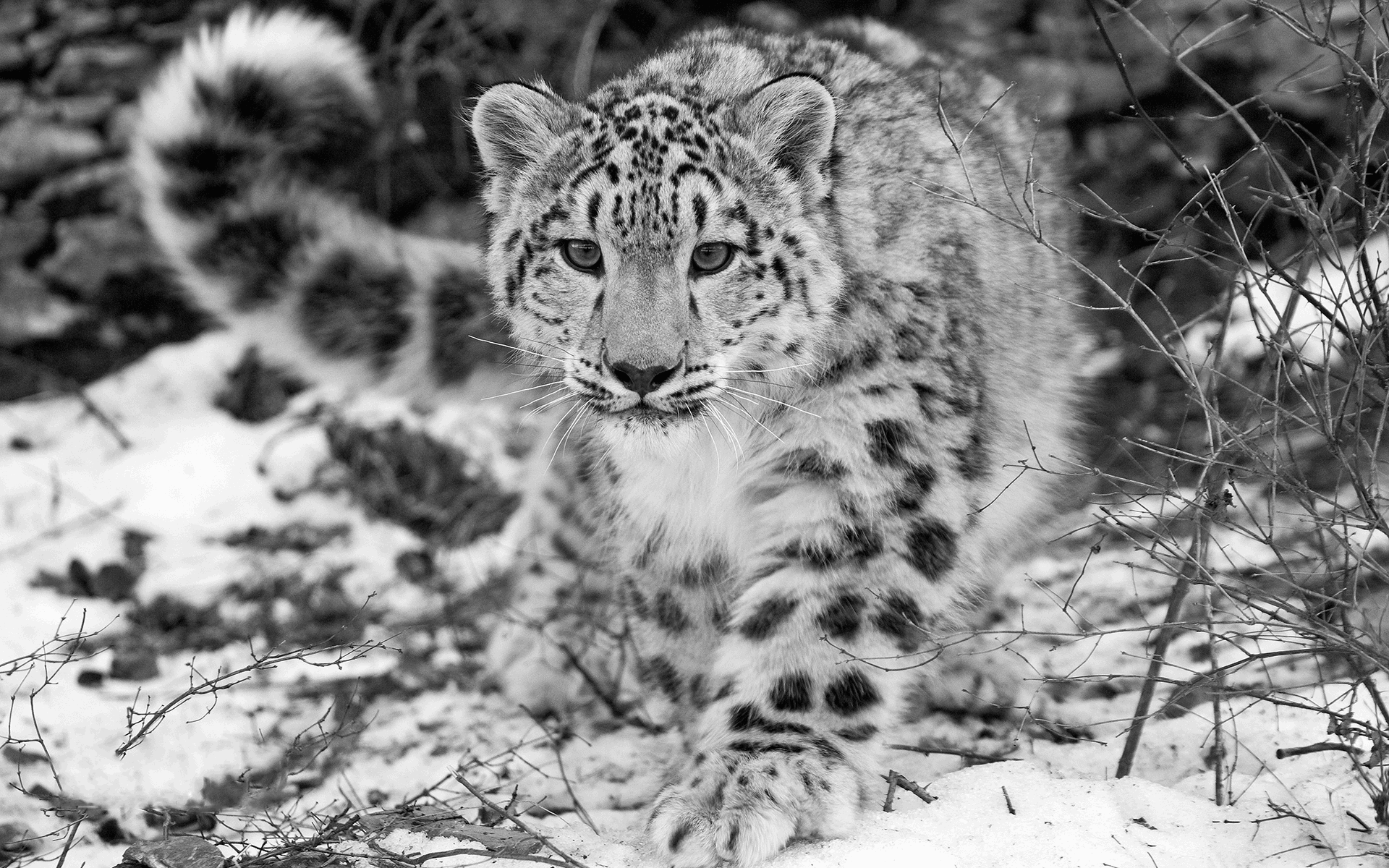 Pin By Cortney Kinyon On Animals Snow Leopard Wallpaper Leopard Wallpaper Snow Leopard
