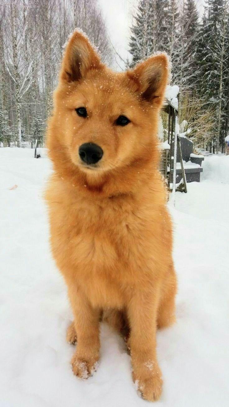 Spitz Dogs Dog Breeds