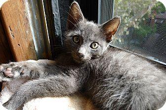 Manhattan Ny Russian Blue Meet Ravi A Kitten For Adoption Kitten Adoption Russian Blue Pet Adoption