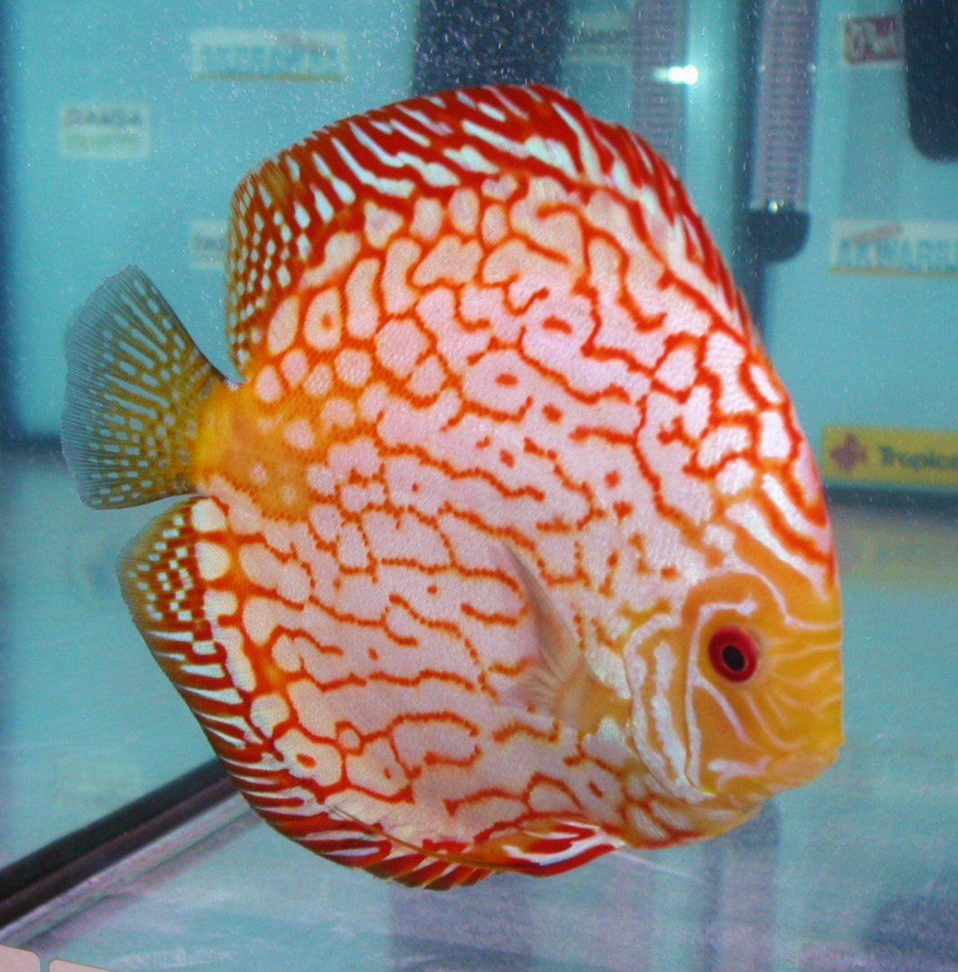 Red Pigeon Discus Med Cichlid Discus Www Yourfishstore Com Discus Discus Fish Freshwater Aquarium Fish