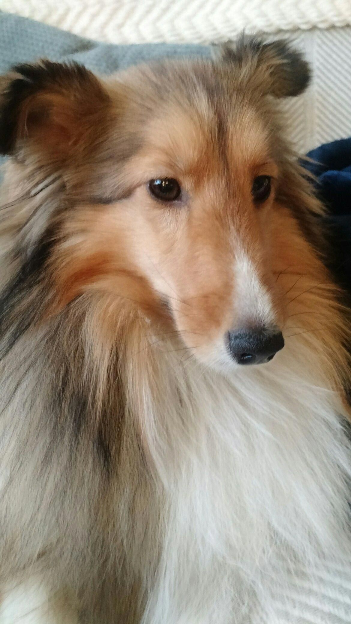 Everything About Fun Shetland Sheepdog Puppies Personality