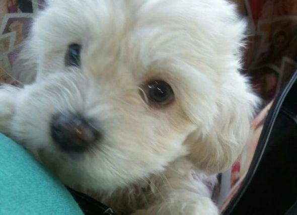 My Super Cute Baby Maltipoo Puppies Maltipoo Puppy Maltipoo