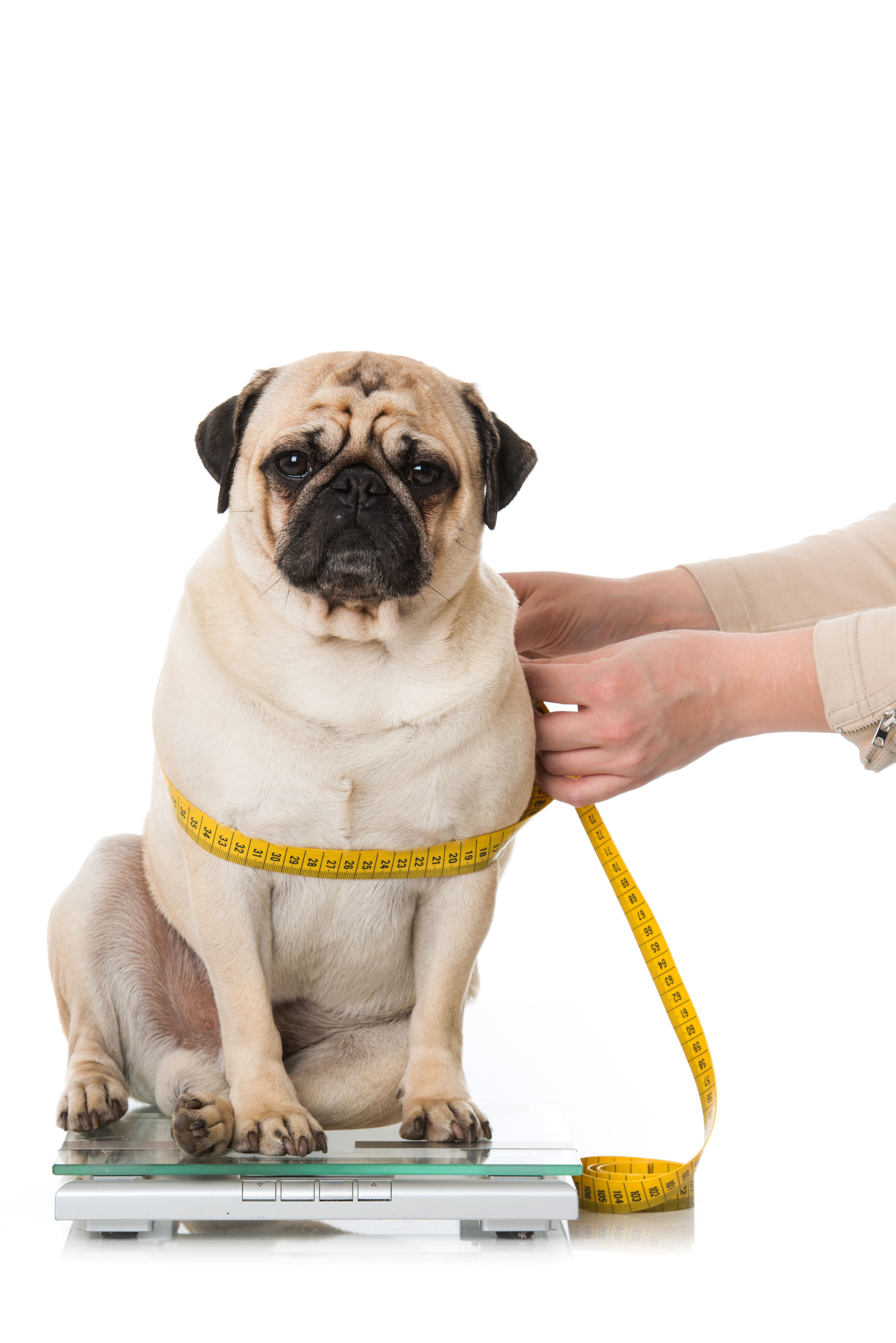 Is Bacteria Making Pets Obese Overweight Dog Best Diet For